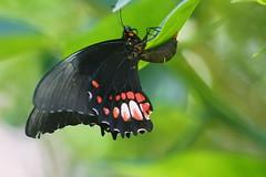 La ponte du papillon (lolodoc) Tags: butterfly ponte papillon eggs insecte entomologie guyane lpidoptre lolodoc dejault