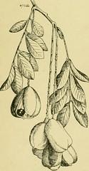 Anglų lietuvių žodynas. Žodis akee tree reiškia akee medis lietuviškai.