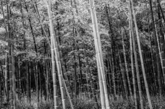 Arashiyama Bamboo Grove Black and White (adamlapish) Tags: trees blackandwhite grass japan forest kyoto asia bamboo arashiyama bambooforest bamboogrove shrinegates