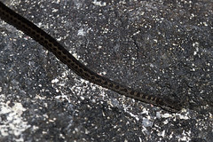 Western Galapagos Racer (Baractus) Tags: john snake galapagos western punta fernandina oates racer angelito espinosa