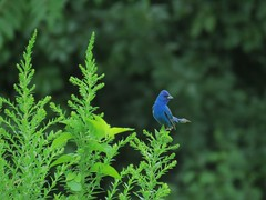 Indigo Bunting (Keith Michael NYC (4 Million+ Views)) Tags: nyc ny newyork statenisland indigobunting mountlorettouniquearea