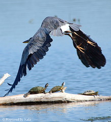 Framed! (Kaptured by Kala) Tags: lake heron nature framing aquatic waterfowl wingspan greatblueheron whiterocklake redearedslider aquaticturtle sunsetbay dallastexas aquaticbird waterturtle