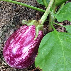 "It won't be long until this heirloom eggplant will be ready to harvest. I have plans to transform it into a delicious roasted eggplant lasagna. I can't wait!  Do you grow eggplant in your garden? Do you have a favorite way to prepare it for your family's • <a style=""font-size:0.8em;"" href=""http://www.flickr.com/photos/54958436@N05/14887532225/"" target=""_blank"">View on Flickr</a>"