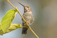 Male Anna's in the Witch Hazel (Dave In Oregon) Tags: summer male bird nature oregon hummingbird hummer birdwatcher annashummingbird calypteanna rainieroregon