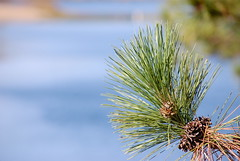 Pine Branch (Sarah Hina) Tags: lake pine needles snowden