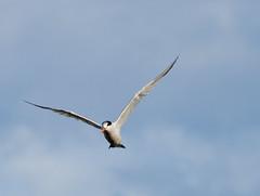 Orange-beaked tern 2 (poppiness) Tags: bird nature wildlife birding shoreline waterbird mountainview tern 70300mmf4556 d7000
