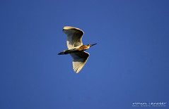 Egret {Scientific name: Ardea alba} (amin tanveer) Tags: sky white bird flying great bluesky egret