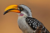 Eastern Yellow-billed Hornbill (Rainbirder) Tags: kenya ngc npc samburu easternyellowbilledhornbill tockusflavirostris rainbirder