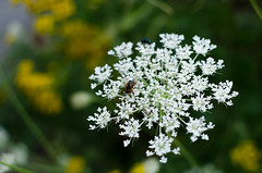 Wasp on white flower-contrast. (LivewithoutPS) Tags: summer sun white flower nature blurry wasp backround bokehlicious