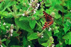 wild beauty (Sougata2013) Tags: wild india flower macro beautiful butterfly nikon monsoon wildflowers mandi himachalpradesh nikond3200 prashar indiantortoiseshell aglaiscashmirensis prasharlake nymphalidbutterfly
