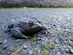 newburgh toad in scotts lane-9075391 (E.........'s Diary) Tags: autumn scotland ross olympus september eddie sept 2014 xz1