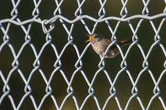 Wren_46252.jpg (Mully410 * Images) Tags: bird birds fence backyard wren birdwatching birder chainlinkedfence ahatswildlifeobservationarea ahatswoa