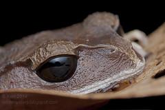Leptobrachium sp. IMG_1910 copy (Kurt (OrionHerpAdventure.com)) Tags: amphibian frog borneo frogs tropical herps herpetology anura amphibia herpetofauna herping tropicalfrogs leptobrachium litterfrog frogsofborneo