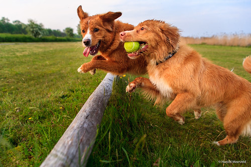 "Playing Ducktolling retrievers • <a style=""font-size:0.8em;"" href=""http://www.flickr.com/photos/56274740@N08/15031785069/"" target=""_blank"">View on Flickr</a>"