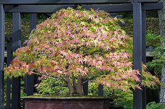 Bonsai Japanese maple tree, early Autumn (Monceau) Tags: maple japanesemaple bonsai parcfloral