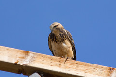 Swainson's Hawk checks out the area.
