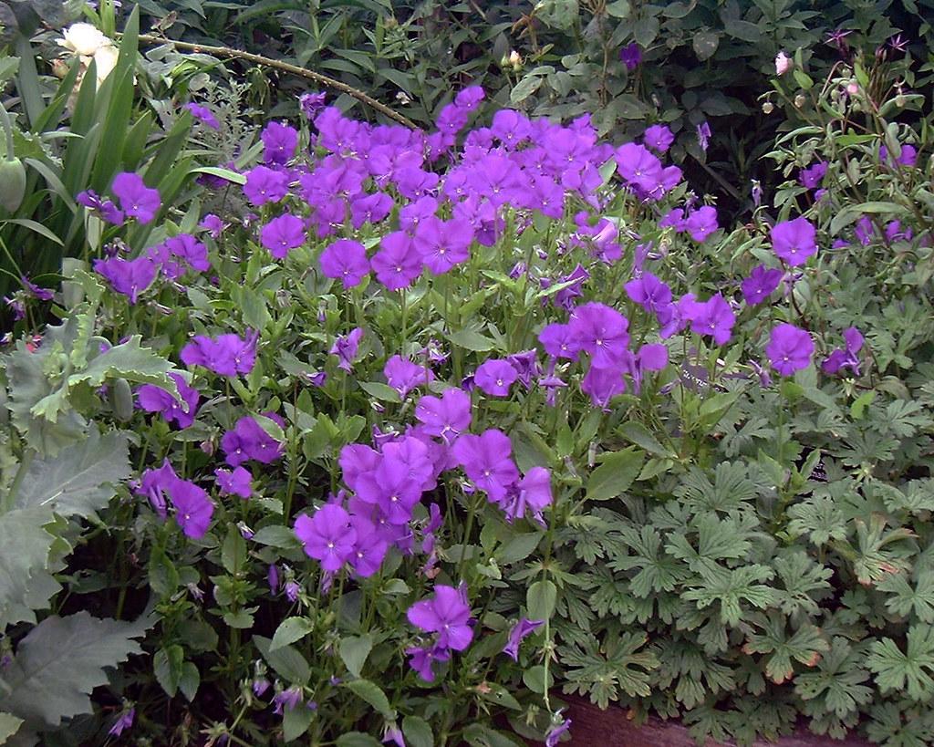 Viola 'Inverurie Beauty'