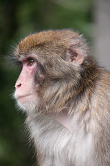 Japanese Monkey (nimor72) Tags: baby tree love grass forest fur japanese monkey climb child mother son darwin evolution macaque