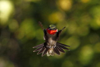 Adult Male Ruby-throated Hummingbird, Airborne