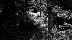 Sweden 2014 (SS) Tags: light white holiday black fern tree monochrome backlight contrast forest photography pentax sweden branches perspective july sverige 169 k5 2014 intheforest ss