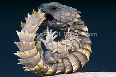 Armadillo girdled lizard / Cordylus cataphractus kopie (Reptiles4all) Tags: animal fauna ball southafrica reptile wildlife lizard round predator defensive terrestrial spiny southafrican cordylus diurnal cataphractus girdledlizard armadillolizard reptiles4all mgkuypers matthijskuijpers