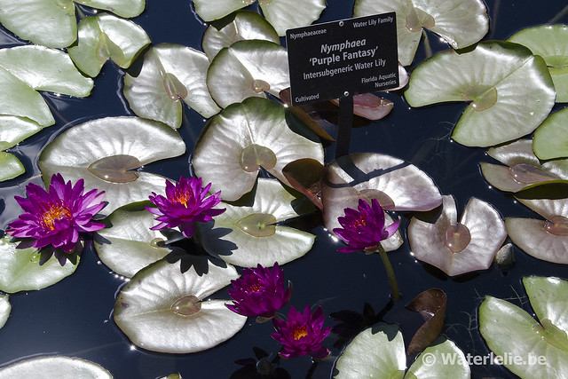 Waterlelie Purple Fantasy / Nymphaea Purple Fantasy
