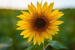 A Healthy Flower [explore 09-24-14] (misterperturbed) Tags: sunflowers jarrettsvillepike hessroad