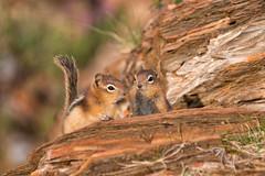 Double Trouble (dbushue) Tags: morning two nature nikon rocks babies britishcolumbia wildlife duo pair young hike double trail marblecanyon canadianrockies 2014 kootenaynationalpark goldenmantledgroundsquirrel specanimal damniwishidtakenthat dailynaturetnc14 photoofthedaynwf14