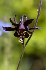 Ancolie noirtre (mikxel) Tags: wild flower macro canon tamron90mm 6d ancolie noirtre