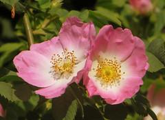 IMG_6392 (hemingwayfoto) Tags: rose flora pflanze gelb wildrose blume blte panther zwei strauch busch botanik zart blhen rosacanina heckenrose romantisch duftend einheimisch bltenstempel rosengewchs hufig