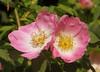IMG_6392 (hemingwayfoto) Tags: rose flora pflanze gelb wildrose blume blüte panther zwei strauch busch botanik zart blühen rosacanina heckenrose romantisch duftend einheimisch blütenstempel rosengewächs häufig