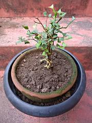 Mix de Jabuticaba Goiaba Mixirica (9) (jemaambiental) Tags: mamadeira jabuticaba bonsais goiaba mixirica prébonsais bonsaístas preparaçãodebonsais mixdeespécies