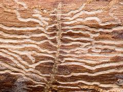 bark galleries