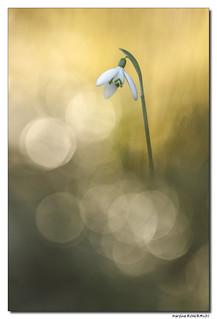 Perce-Neige - Galanthus Nivalis #4