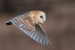 Close up fly by (PINNACLE PHOTO) Tags: barnowl flying inflight closeup prey dusk kia what fcuk itsan owl flapping canon niko ah yah