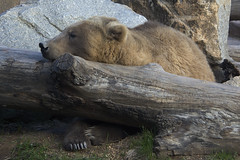 sleepy bear (ucumari photography) Tags: ucumariphotography riverbankszoo columbia sc south carolina february 2017 oso bear grizzly brown animal mammal dsc6575
