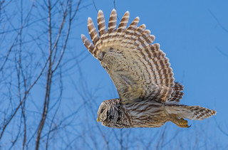 Chouette rayée en vol / Barred owl in flight