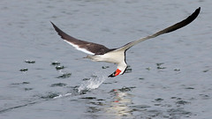 Fishing (bmse) Tags: black skimmer bolsa chica fish fishing bmse salah baazizi wingsinmotion canon 7d2 400mm f56 l