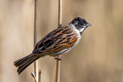 Reed Bunting....... (klythawk) Tags: reedbunting emberizaschoeniclus male reeds sunlight nature spring wildlife brown beige orange black white nikon d500 sigma 150600mmc calkeabbey nationaltrust ticknall derbyshire klythawk