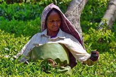 India - Kerala - Munnar - Tea Harvest - 21 (asienman) Tags: india kerala munnar teaharvest asienmanphotography