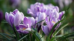 Boodle Blooms (Mark BJ) Tags: daisynook countrypark medlockriver grass crocus riversvalehall riversvale path manchester uk oldham ashtonunderlyne crocuses croci woodland lilac
