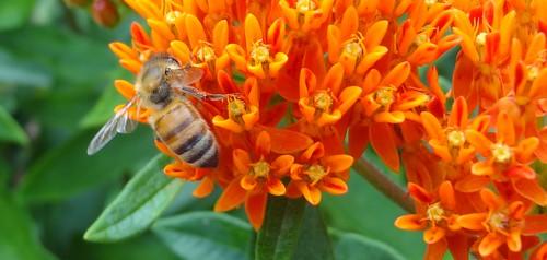 honeybee on butterflyweed