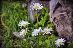Prästkragar Sweden (T Söderlund 1.2M views) Tags: flower nature sweden schweden natur meadow meadows swedish blomma sverige bild min suede suecia svensk nymans prästkrage ruotsi äng nyman suècia sueco suedoise prästkragar ängar schwedish sverigebild minsverigebild minsverige