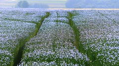 Blue like snow (Ker Kaya) Tags: flax blue kerkaya fz200 fdekerkaya ker kaya artist photography dmcfz200 kerkayaphotography