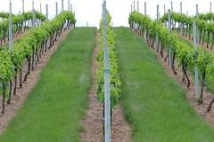 Row 24 (bradlebedoff) Tags: canada canon vineyard oliver britishcolumbia okanagan scenic rows 70200 70d