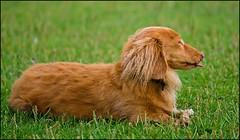 Bert and Alfie (stroppyhippo71) Tags: brown beige dachshund