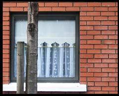 crisp white curtains (Maewynia) Tags: dublin white tree brick window wall blind trunk curtains