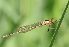 Female Emerald damselfly (Roger H3) Tags: insect damselfly emerald odonata