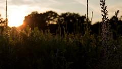 Wildblumenwiese #4