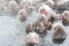 /Japanese Snow Monkeys (GenJapan1986) Tags: travel winter snow animal japan   nagano    2012   japanesesnowmonkey  nikond90